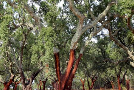 дерево корица